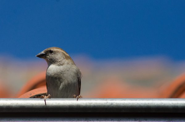 A sparrow sitting in a gutter